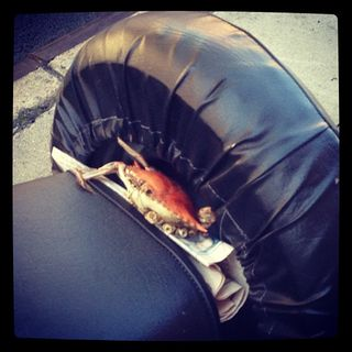 Crab on motorcycle